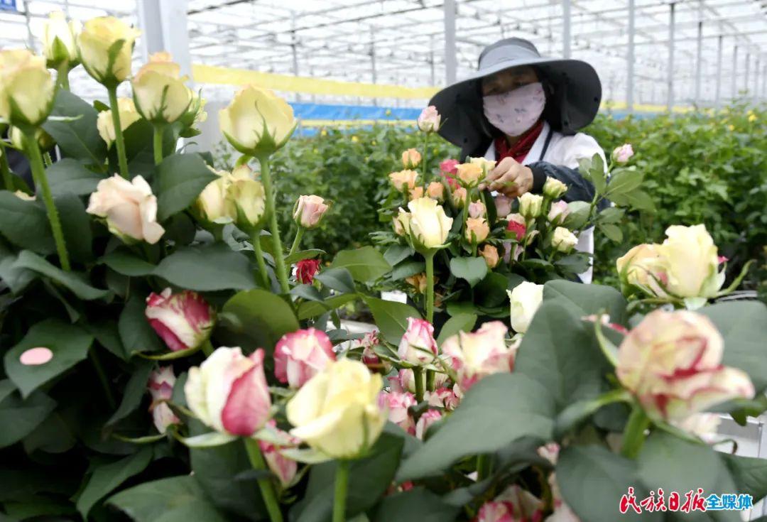 临夏(中荷)国际鲜花港玫瑰俏销国内市场